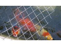 Koi Carp For Sale Various sizes