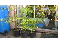 Established beech hedging plants in pots