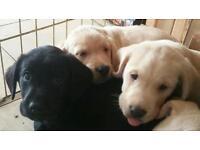 Springerdor Puppies