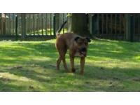 Rottweiler x American bulldog