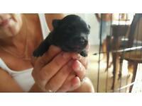 Pedigree pomeranian pups for sale