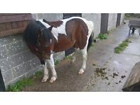 12.2 coloured gelding