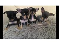 Chihuahua X Miniature Pinscher puppies