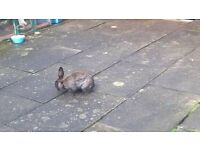 beautiful black rabbit for sale 25 ono