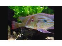 Geophagus Altifrons, very colourful, 6, inches tropical