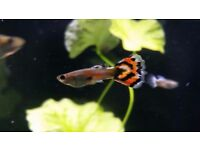 Guppies - Large quantity - Males and females