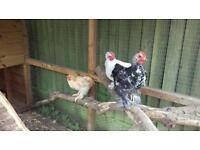 REALLY NEED THESE TWO GONE .Two pekin bantam cockerels free to good home
