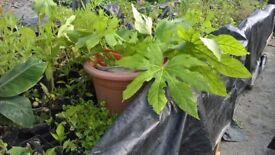 aquapoincs plants banna trees/mango trees