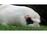Guinea pigs/rabbits & small animals cared for whilst you are away on holiday. Chippenham