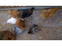 Pekin rooster chicks free to good homes