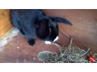 lops cross 12 week old beautiful baby bunnies for sale