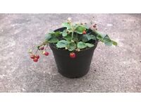 Large pink flowered strawberry plant