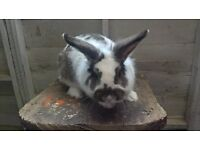 male rabbit free to good home!