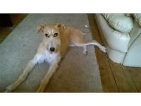 Female Saluki x Bedlington Whippet. 8 months old, Sad to sell but I'm moving to a smaller home.