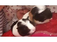 Two guinea pigs females 9 weeks old