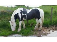 Bombproof Horse for Share/Loan