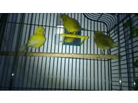 3 Canaries for sale