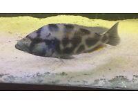 nimbochromis livingstonii malawi cichlid fish