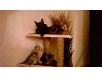 Beautiful bengal kittens ready for new home