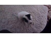 Teacup JRT puppy