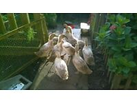 8 week old welsh harlequin DUCKLINGS please email for prices