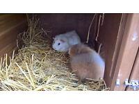 4 female guinea pigs