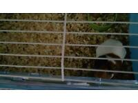 Guinea pig 2 years old