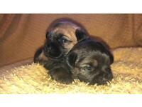 Kc registered border terrier bitch puppies
