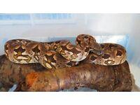 Snake, Female Dumeril's