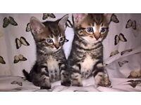 Kittens 2 male tabbies