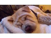 """""""REGGIE"""" handsome Sharpei Dog 13 months old"""