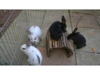 4 Female baby rabbits