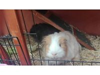 2 Guinea pigs with hutch