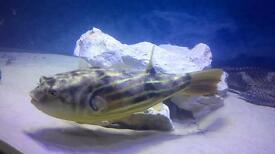 "12"" fahaka puffer fish"