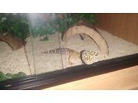 Leopard Gecko ( 3 years old ); Vivarium ( 2ft ); Micro Climate Heat Mat & Accessories.