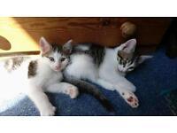 2 x Female & 1 x Male Kitten