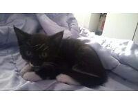 Lovely little kitten 9weeks old boy