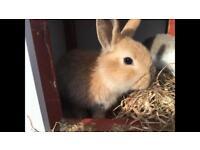 Bunny ( mini lop)