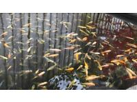 """Koi Fry Pond Fish 1""""+ £10 for 20, £20 for 50, £30 for 100"""