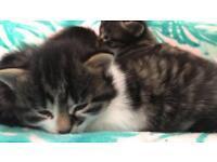 Gorgeous fluffy kittens