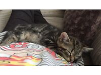 Mane coon cross kitten