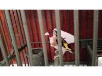 Goldfinch/ Greenfinch Baby