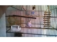 2 x beautiful baby budgies & large cage