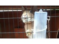male rex rabbit and hutch