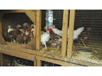 Rhode island Red x young hens and cockerels for sale