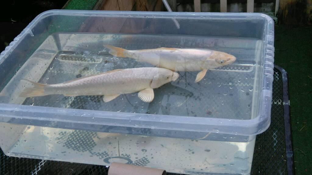 Koi carp fish white pair