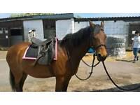 Stunning adorable healthy horse foe sale
