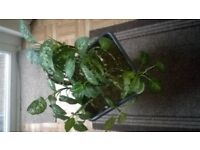 two lovely plants text if interested 07399913301