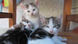 4x Beautiful kitties, 7 weeks old-friendly with children