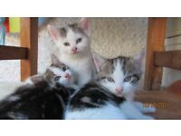 3x Beautiful kitties, 7 weeks old-friendly with children
